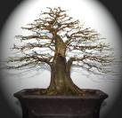 bonsaii
