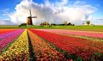 bunga-tulip-putih-ungu-merah-kuning